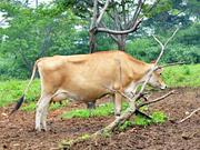 おいしいミルクを作ってくれる牛さん