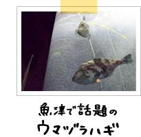 魚津で話題のウマヅラハギ