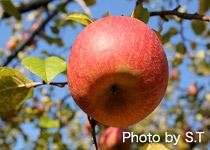 赤くなったりんご