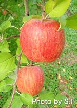 収穫された加積りんご