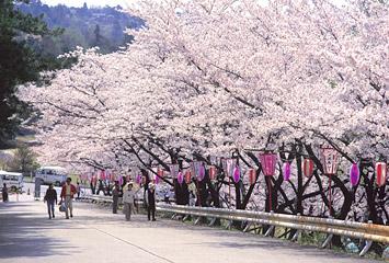 宮野山の桜