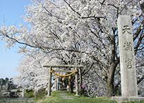若栗城址の桜