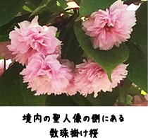 境内の聖人像の側にある数珠掛け桜