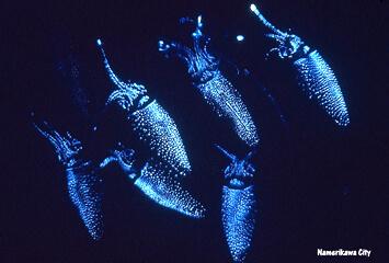 全身発光で青白い光を放つホタルイカ