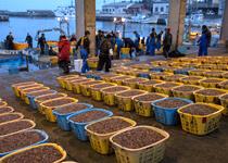 滑川漁港に水揚げされた大量のホタルイカ