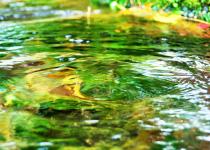 杉沢の沢スギ 湧き出す地下水