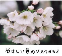 やさしい色のソメイヨシノ