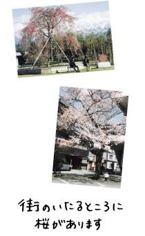 黒部は街のいたるところに桜があります。