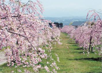 黒瀬川の桜