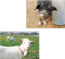 くろべ牧場には、牛のほかにもブタやヤギもいます。