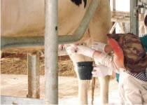 くろべ牧場の牛舎体験