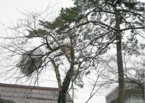 曲がってしまったさくらの木